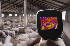 Immagine termica dell'azienda agricola di maiale Fotografia Stock