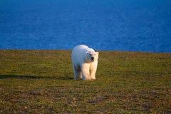Immagine unica: orso polare - specie sympagic - sopra Immagine Stock