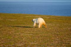Immagine unica: orso polare - specie sympagic - sopra Fotografia Stock