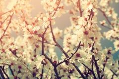 Immagine vaga e vaga astratta dell'albero bianco dei fiori di ciliegia della molla Fuoco selettivo Annata filtrata Fotografia Stock Libera da Diritti