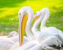 Immagine variopinta amichevole del pellicano Fotografie Stock