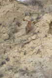 Immagine verticale del leone di montagna che corre giù la montagna Immagine Stock