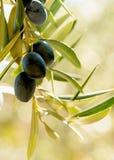 Immagine verticale della luce calda di estate su un gruppo di olive Immagini Stock