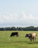 Immagine verticale delle mucche dell'ibrido in un pascolo di Florida fotografie stock libere da diritti