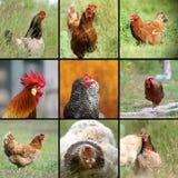 Immagini degli uccelli dell'azienda agricola Fotografie Stock