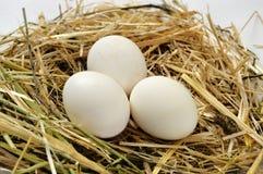 Immagini dei galli domestici, immagini del gallo e polli, immagini dei polli organici naturali del villaggio, polli di naturale-f Immagini Stock Libere da Diritti