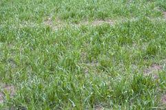 Immagini della vista del giacimento di grano ed immagini delle orecchie del grano Fotografia Stock