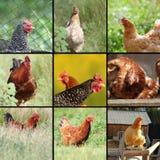 Immagini delle galline e dei galli Immagini Stock Libere da Diritti