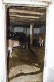 Immagini delle mucche e dei vitelli che mangiano il loro alimento nel ranch, allevamento di bestiame, le pitture della mucca più  Fotografie Stock Libere da Diritti