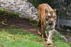 Immagini di giovane tigre di Sumatran Fotografia Stock Libera da Diritti