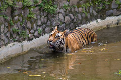 Immagini di giovane tigre di Sumatran Immagini Stock