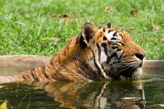 Immagini di giovane tigre di Sumatran Fotografie Stock