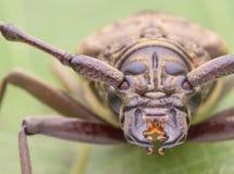 Immagini lunghe dello scarabeo del corno Fotografie Stock Libere da Diritti