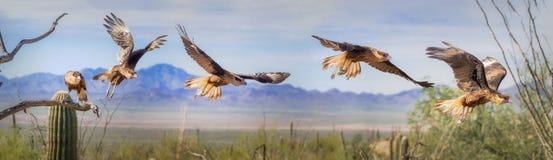 Immagini multiple del Caracara di panorama di sequenza di volo crestato di panorama fotografie stock libere da diritti