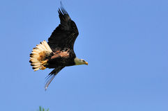 Immature American Bald Eagle in Flight. An Immature American Bald Eagle flys with wings uplifted isolated on a clear blue sky.  This picture shows some dark in Stock Photography