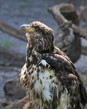 Immature American Bald Eagle Royalty Free Stock Photos