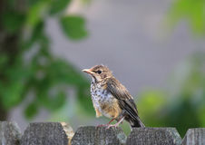 Immature American Robin Stock Photos