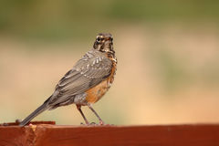 Immature American Robin Royalty Free Stock Images