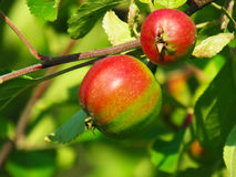 The immature apples on a branch. In the sun Royalty Free Stock Images