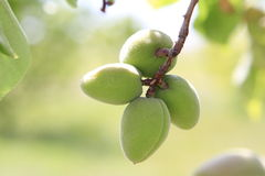 Immature apricot. Armenian immature apricot (cogol) on the tree Royalty Free Stock Photography