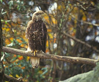 Immature bald eagle. An injured immature bald eagle sits in a tree in the autumn color change of New England Stock Photos