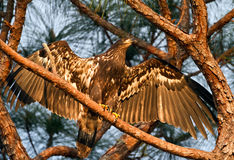 Immature Bald Eagle. Recently fledged American Bald Eagle in the sunset royalty free stock photo