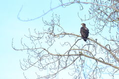 Immature Bald Eagle. This young bald eagle will not get the characteristic white head and tail for 5-7 years Royalty Free Stock Image