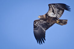 Immature Bald Eagle. Flying in a Blue Sky Stock Photos