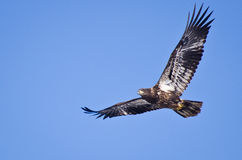 Immature Bald Eagle. Flying through a Blue Sky Stock Images