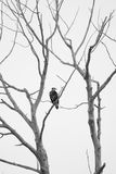 Immature Bald Eagle Black and White. Immature bald eagle perched in a dead cottonwood tree against a total white overcast sky. Image is in Black and White Stock Photos