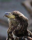 Immature Bald Eagle closeup Royalty Free Stock Photography