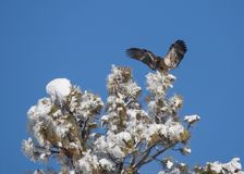 Immature bald eagle coming in for a landing on top of a snow covered tree. Immature bald eagle landing on top of a snow covered pine tree with a clear blue sky Stock Image