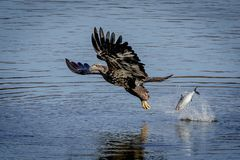 Immature Bald Eagle dropping a fish. An immature bald eagle dropping a fish in the Susquehanna River at the Conowingo Dam in Darlington, Maryland. This image was Stock Images