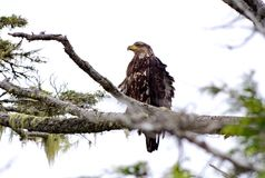 Immature Bald Eagle, feathers ruffled by wind, Triquet Is, BC. Immature bald eagle sitting on a branch, its feathers ruffled by the wind, Great Bear Rainforest Stock Photo
