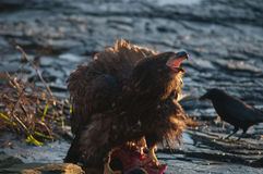 Immature Bald eagle feeding on deer carcass Stock Images
