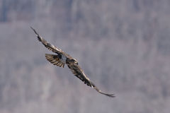 Immature Bald Eagle in Flight. While hunting Royalty Free Stock Photos