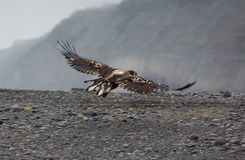 Immature bald eagle in flight along waters edge. Close-up of immature bald eagle in flight looking for salmon at water's edge in Alaskan wilderness Stock Photography