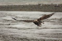 Immature bald eagle in flight. Close-up of immature bald eagle in flight above river in Alaska Royalty Free Stock Photo