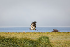 Immature bald eagle in flight over salt marsh in Alaska Royalty Free Stock Photography
