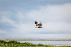 Immature bald eagle in flight over salt marsh and beach. Immature bald eagle Haliaeetus leucocephalus alascanus wings in full feather, searches salt marsh by Royalty Free Stock Images