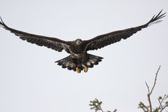 Immature Bald Eagle Stock Photo