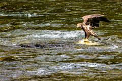 Free Immature Bald Eagle In Lamar River Royalty Free Stock Image - 161035946