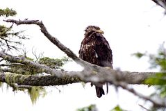 Immature Bald Eagle sitting on a branch, looking over shoulder, Great Bear Rainforest, BC. Immature Bald Eagle looking over shoulder while sitting on a branch Stock Photos