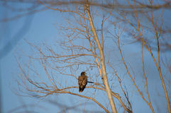 Immature bald eagle perch Royalty Free Stock Photos