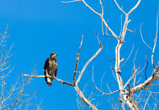 Immature Bald Eagle. An immature bald eagle perched in a tree Stock Images