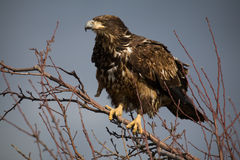 Immature Bald eagle. Perched in a tree Royalty Free Stock Photos