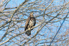 Immature Bald Eagle. An immature bald eagle perched in a tree Stock Photography