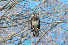 Immature Bald Eagle. An immature bald eagle perched in a tree with its eyes closed Stock Photography