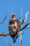 Immature Bald Eagle Royalty Free Stock Photo