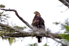 Immature Bald Eagle sitting on a branch, staring into the distance. Great Bear Rainforest, British Columbia Stock Photos